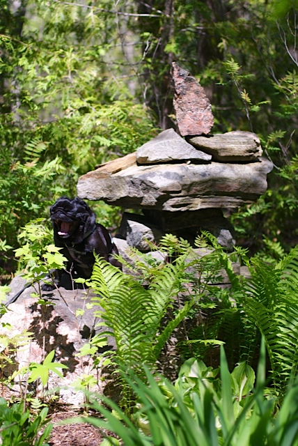 Small black Lola pug sitting beside a small inukshuk in the sunshine, surrounded by green plants and ferns and yawning a HUGE yawn