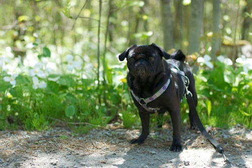 Lola the pug up in Muskoka on a beautiful spring day surrounded by sunlight and trilliums