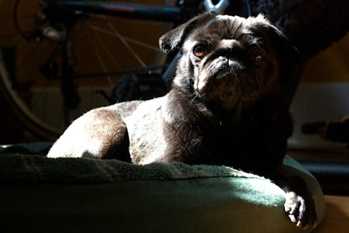 A black pug lies on a green bed with a sunbeam dramatically lighting her from behind as she quizically and yet regally looks at the camera.