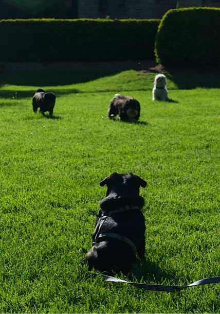 A black pug sits in a sunny, green field of grass, waiting for her three small canine friends to join her in play.