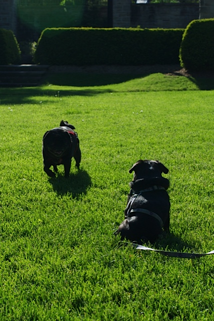 Two black pugs play on a sunlit lawn in a beautiful park
