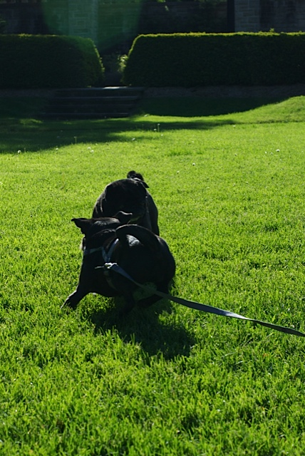 Two black pugs pounce and play on a sunlit lawn in a beautiful park
