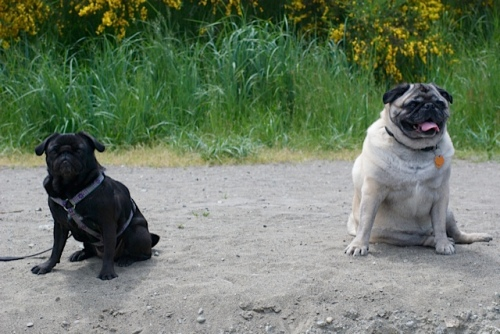 Two pugs, one small black pug, and one larger fawn pug, sit on a beach in the sunshine with long, green grass behind them.