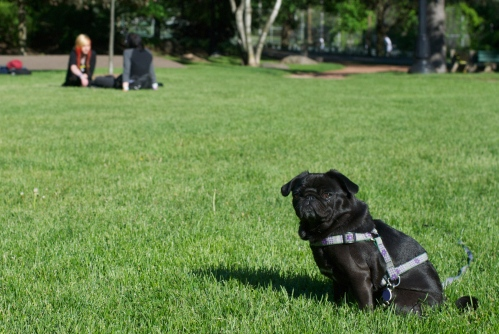 Small black pug sits smirking in a green, sunlit field while young people with dyed red and black hair sit off in the distance