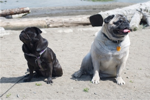 Two pugs, one small black pug, and one larger fawn pug, sit on a beach in BC with the sunshine on them.