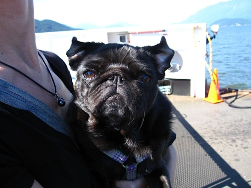 Black pug on a sunny day taking a ferry ride while the ocean breeze flips her ears back and makes her look like a tiny, happy bat.