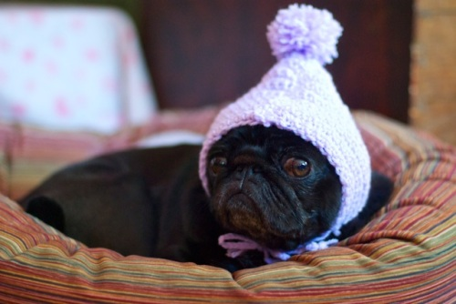 black pug lies in a bed wearing a pink crochet hat touque