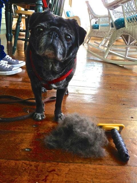 Do Pugs Shed Lola Pug