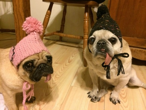 Two older, rescued fawn pugs wear hand crocheted touque hats and look at the camera in disbelief