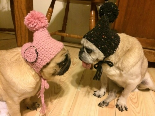 Two older, rescued fawn pugs wear hand crocheted touque hats and stare at each other in disbelief
