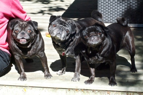 Three black pugs smile at the camera in the sunshine