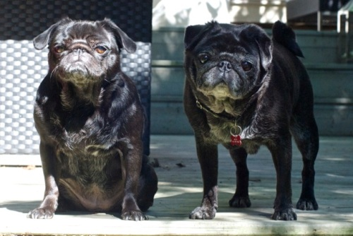 Two black pugs in the summertime, one has a cranky look and the other looks friendly and is wagging her tail
