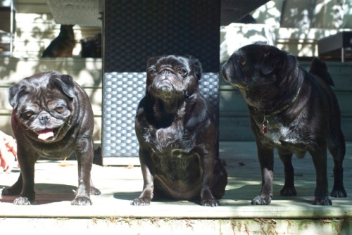 Three black pugs on a summer day, one with a goofy look, one with a cranky look.