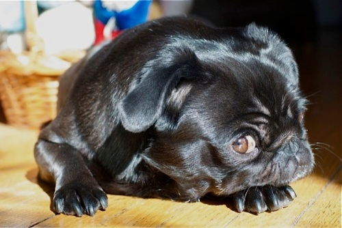 Black pug lies in a sunbeam with a suspicious look on her face