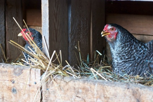 Two black and white free range chickens sit on their eggs in a rustic barn
