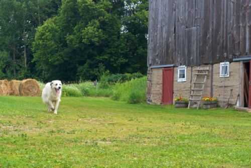 Great Pyrenees running through green grass on a farm