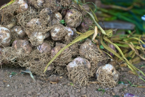 Organic Ontario farm garlic rest in dirt on a curing table