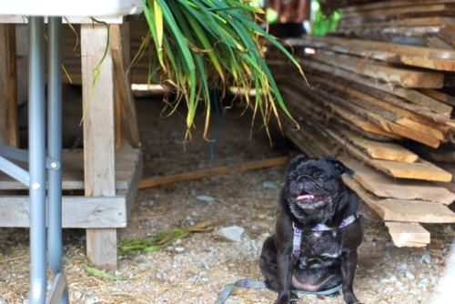 Black pug sits by a garlic curing table in a rustic barn