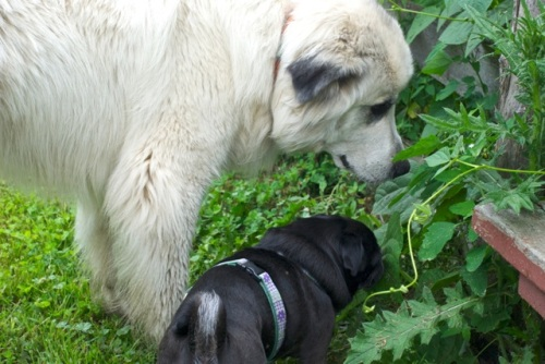 Great Pyrenees and a small black pug sniff green leaves together
