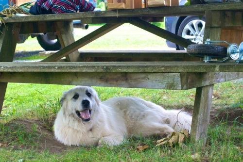 A happy Great Pyrenees lies underneath a picnic table in the grass and dirt