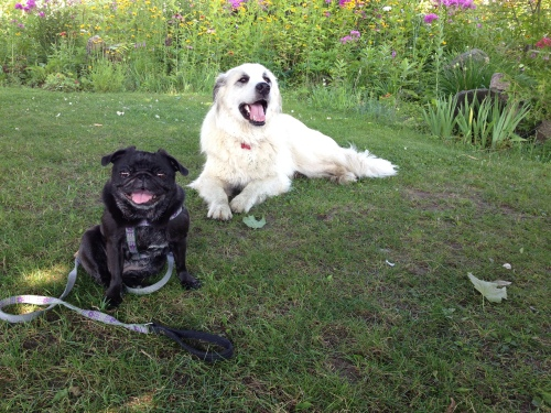 A small black pug and a big Great Pyrenees relax on a lawn with big smiles on their faces