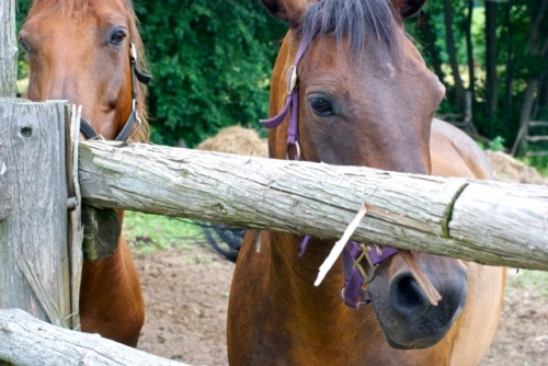 Closeup of two brown horses in an outside pen on a farm