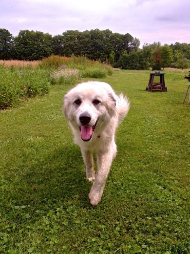 Great Pyrenees happily coming up to say hi in the green grass