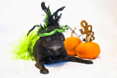 lolapug.com little black pug in a green halloween witch costume with orange pumpkins